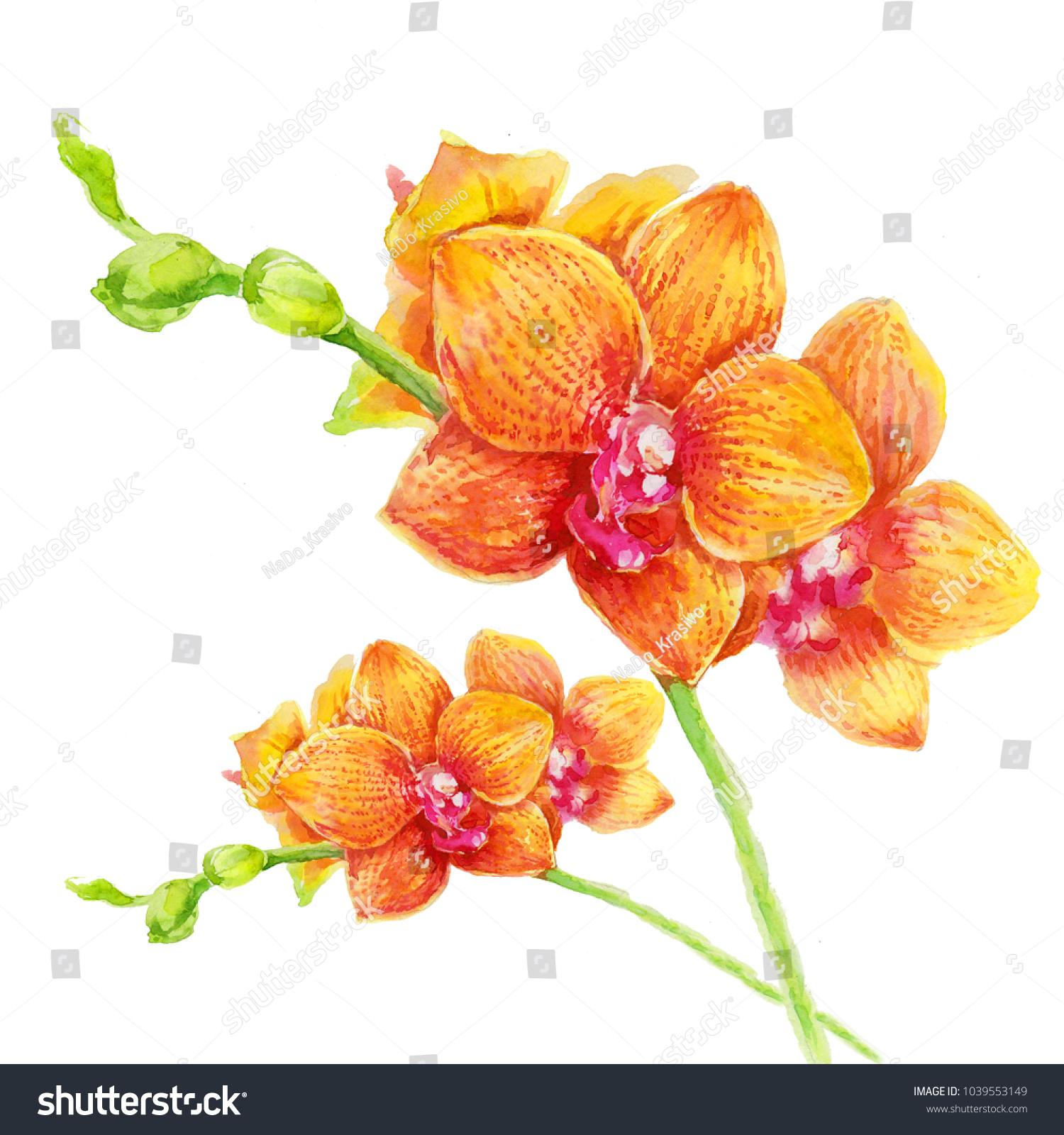 Orange Orchid Flowers On White Background Stock Illustration