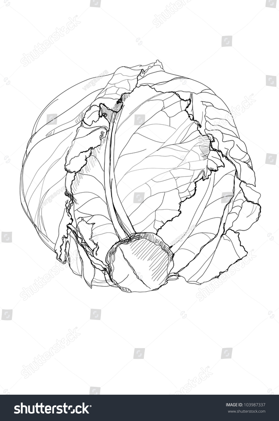 Diagram Of A Cabbage Best Secret Wiring Butterfly Pencil Drawing On White Background Stock Vector Royalty Rh Shutterstock Com