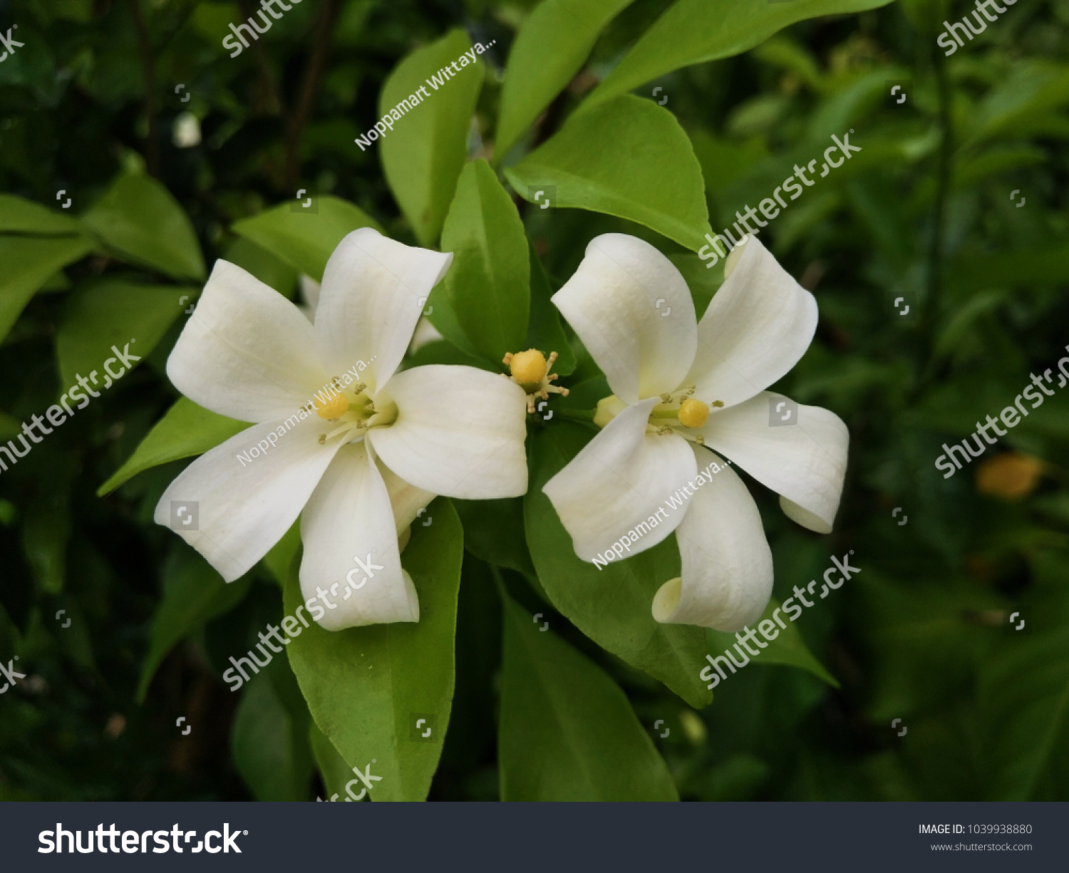 Tahitian Gardenia Tiare Tahiti Close Up Ez Canvas