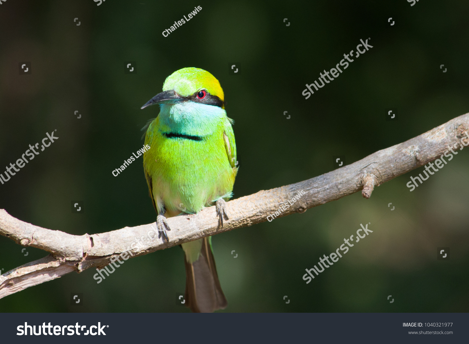 stock-photo-green-bee-eater-bird-in-the-