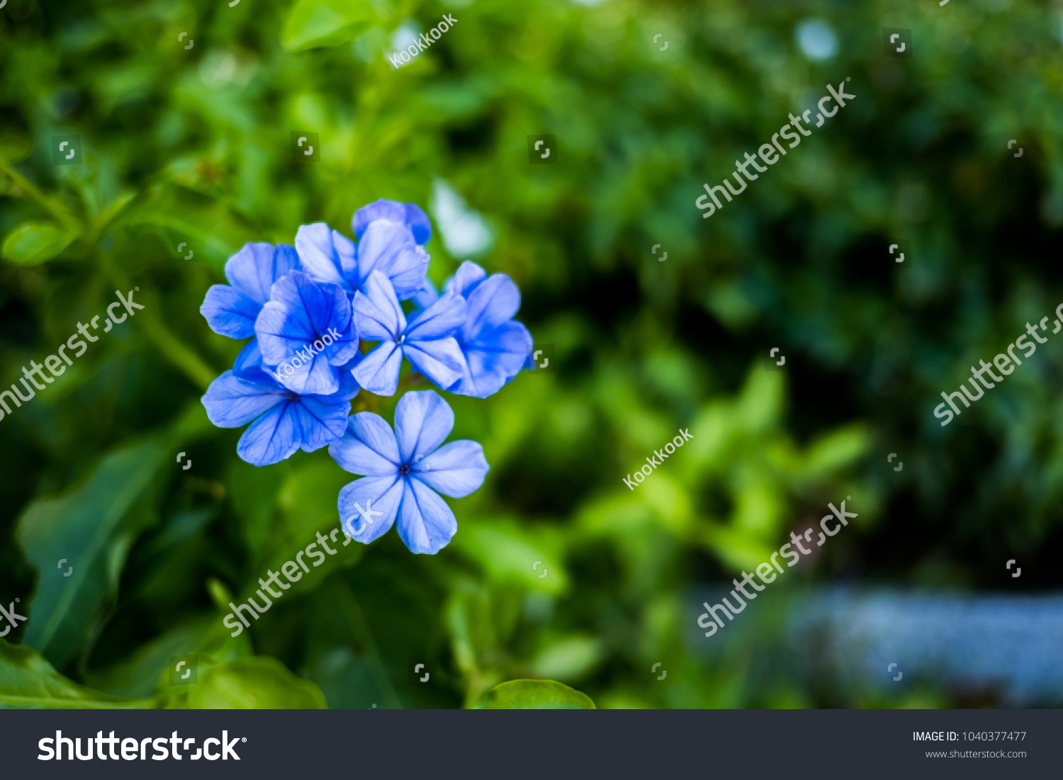 Purplish blue flowers plumbago auriculata bush blue stock photo purplish blue flowersumbago auriculata bush blue flowers in a flower bushwayside izmirmasajfo