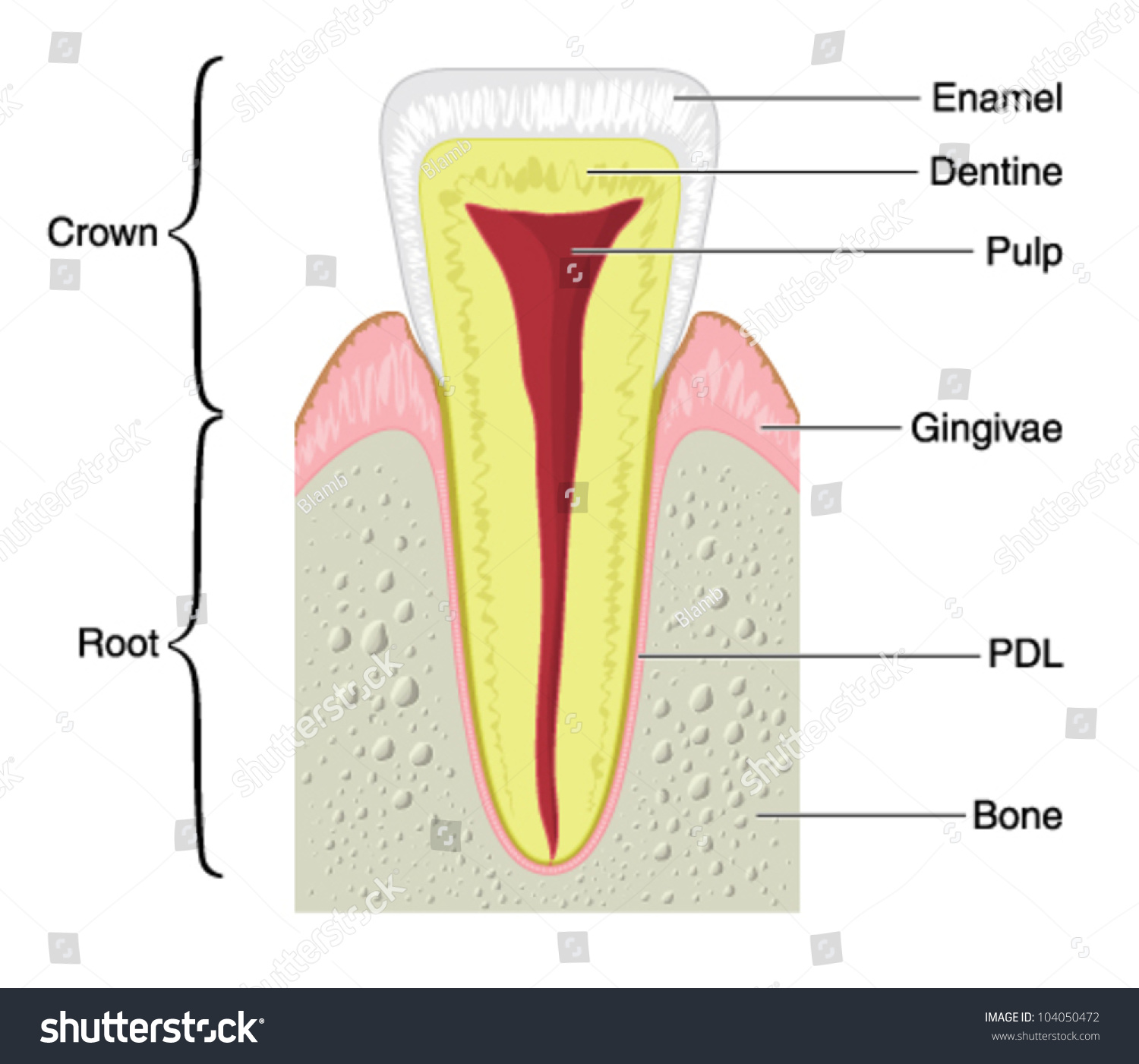 Drawing show main anatomical structures typical stock vector drawing to show the main anatomical structures of a typical incisor tooth including the bone pooptronica