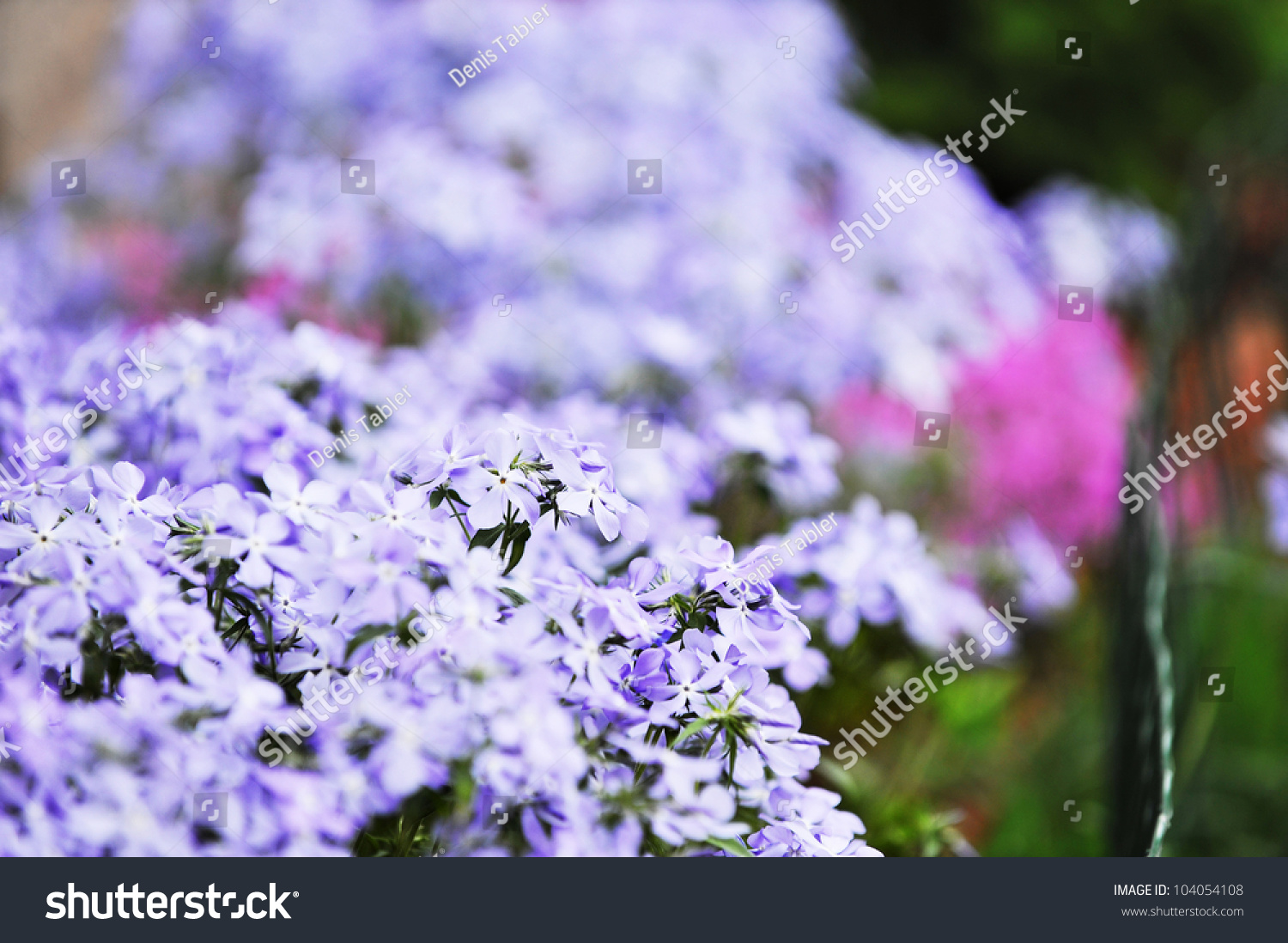 Small Purple Flowers Bloom Late Spring Stock Photo Royalty Free