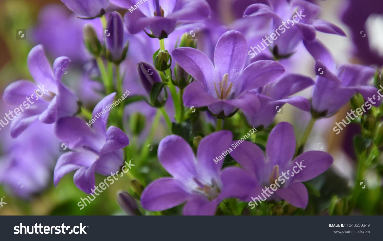 Easter Flowers Purple Bell Flower Beautiful Stock Photo Edit Now