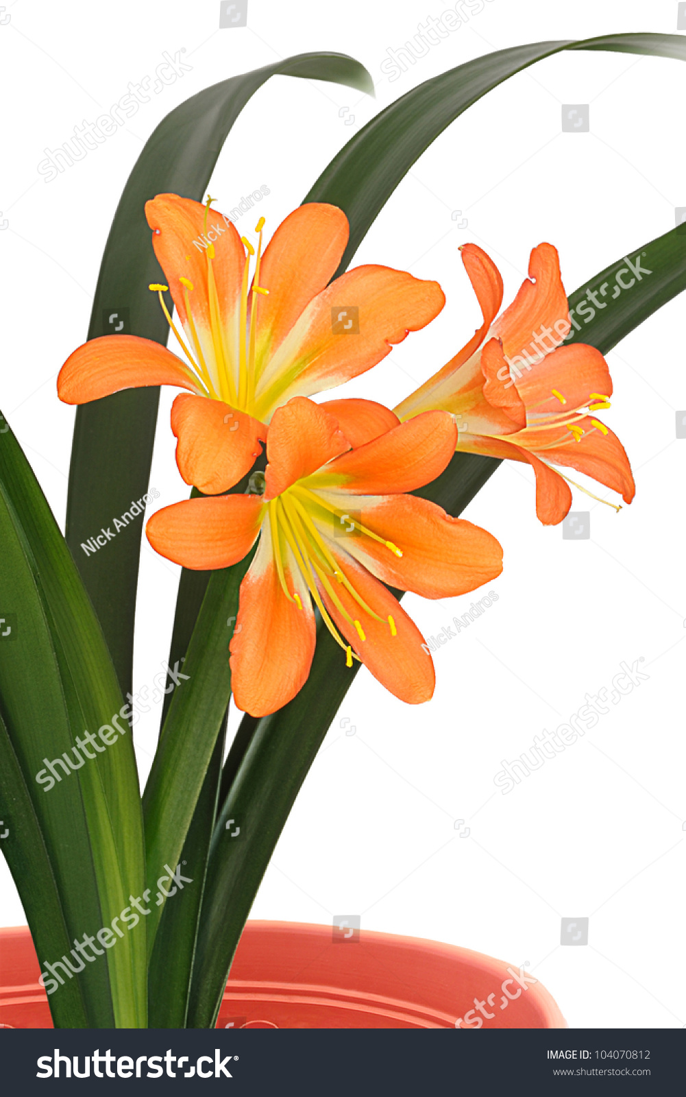 Three orange color flowers lily clivia stock photo royalty free three orange color flowers of lily of clivia kind with green leaves in flowerpot isolated on izmirmasajfo
