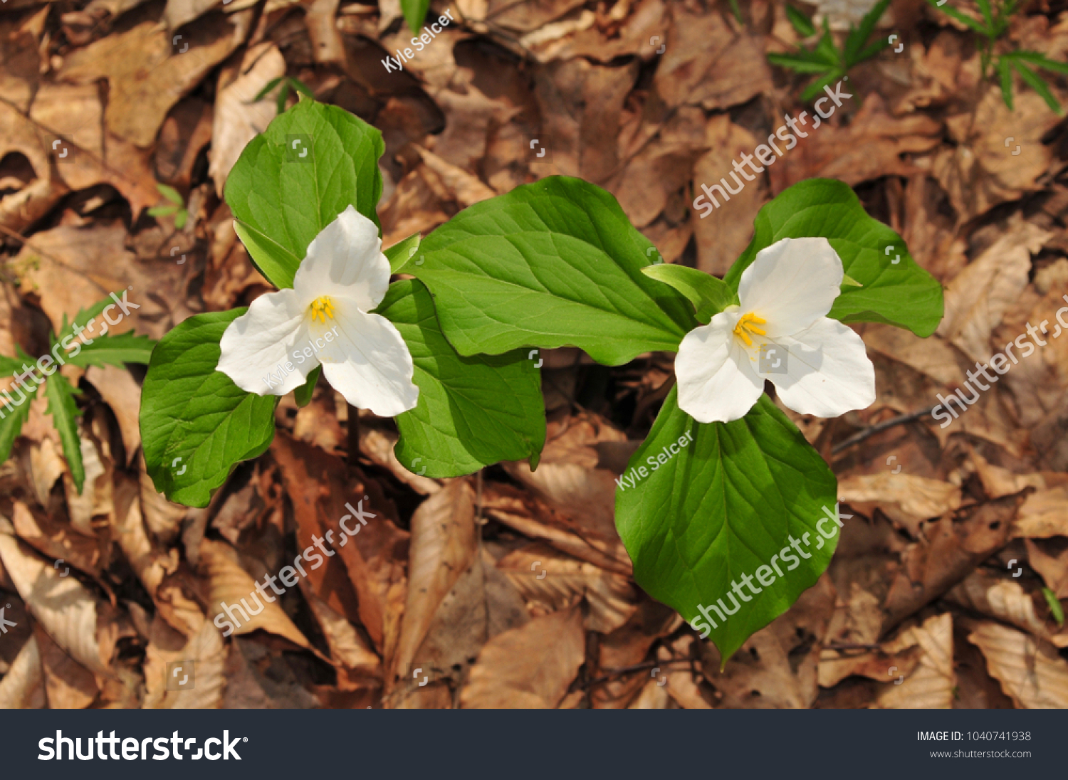 Two Large White Trillium Plants White Stock Photo Edit Now