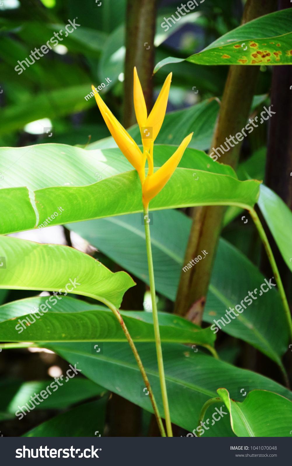 Exotic Yellow Flowers Daintree Rainforest Queensland Stock Photo