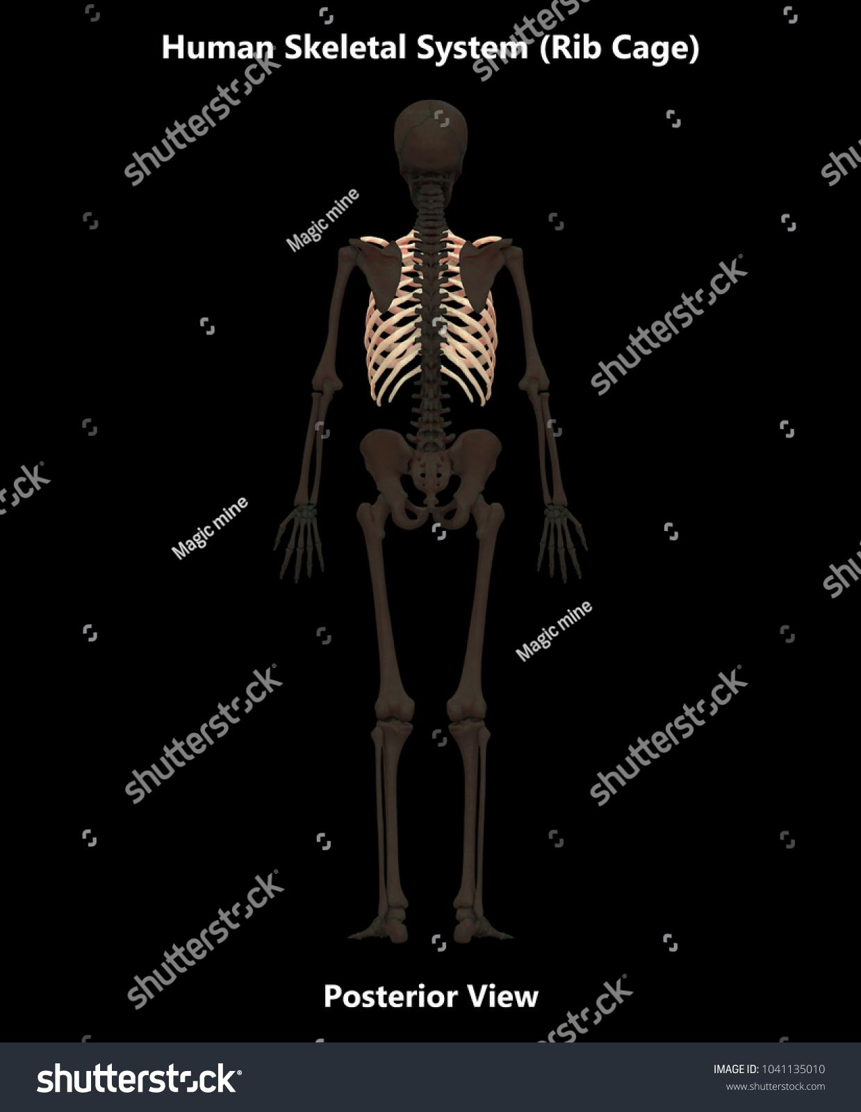 Human Skeleton System Bones Rib Cage Stock Illustration 1041135010 ...