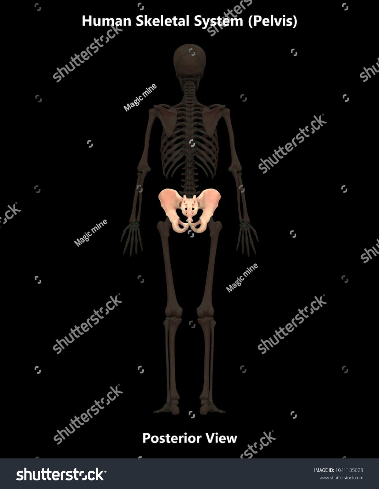 Human Skeleton System Bones Pelvis Anatomy Stock Illustration ...