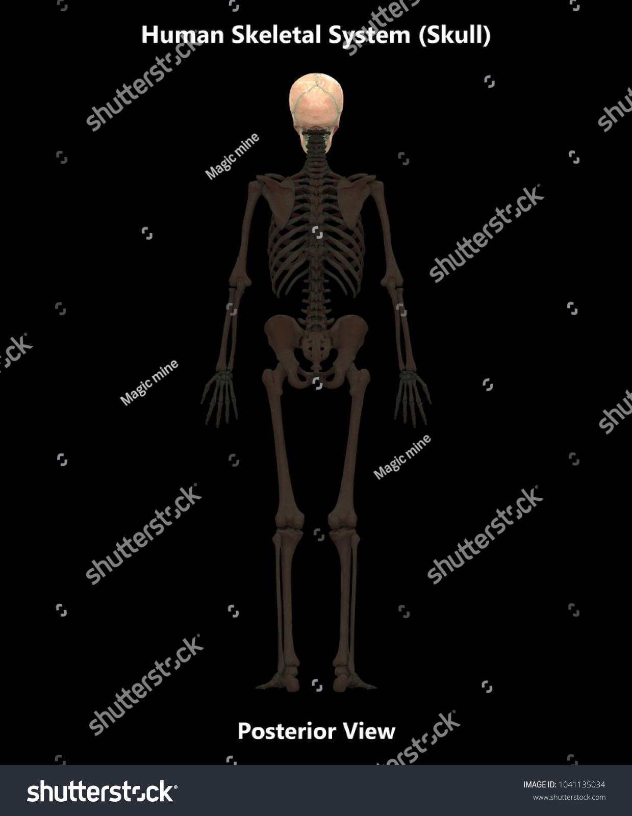 Human Skeleton System Bones Skull Anatomy Stock Illustration ...