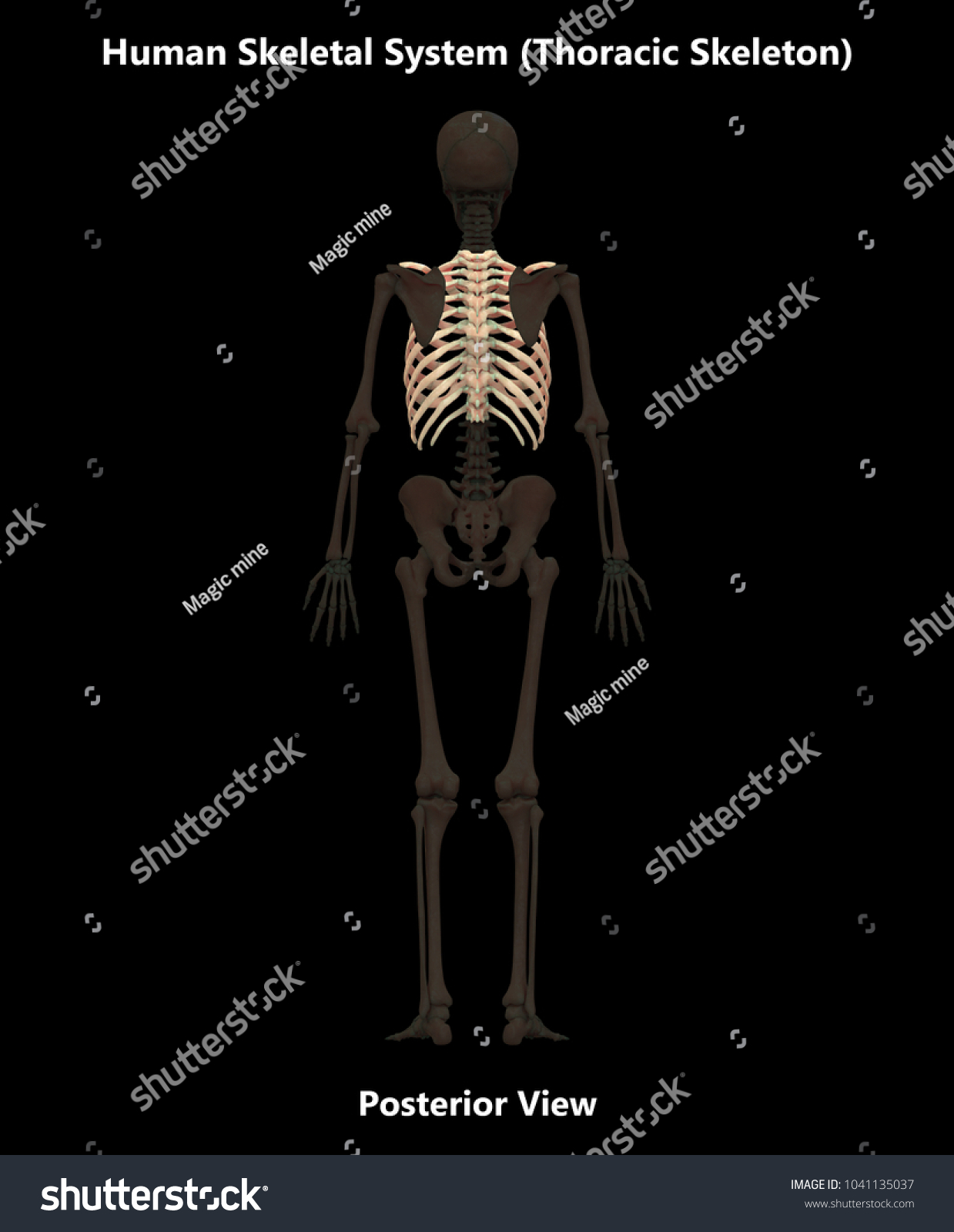 Human Skeleton System Bones Thoracic Skeleton Stock Illustration ...