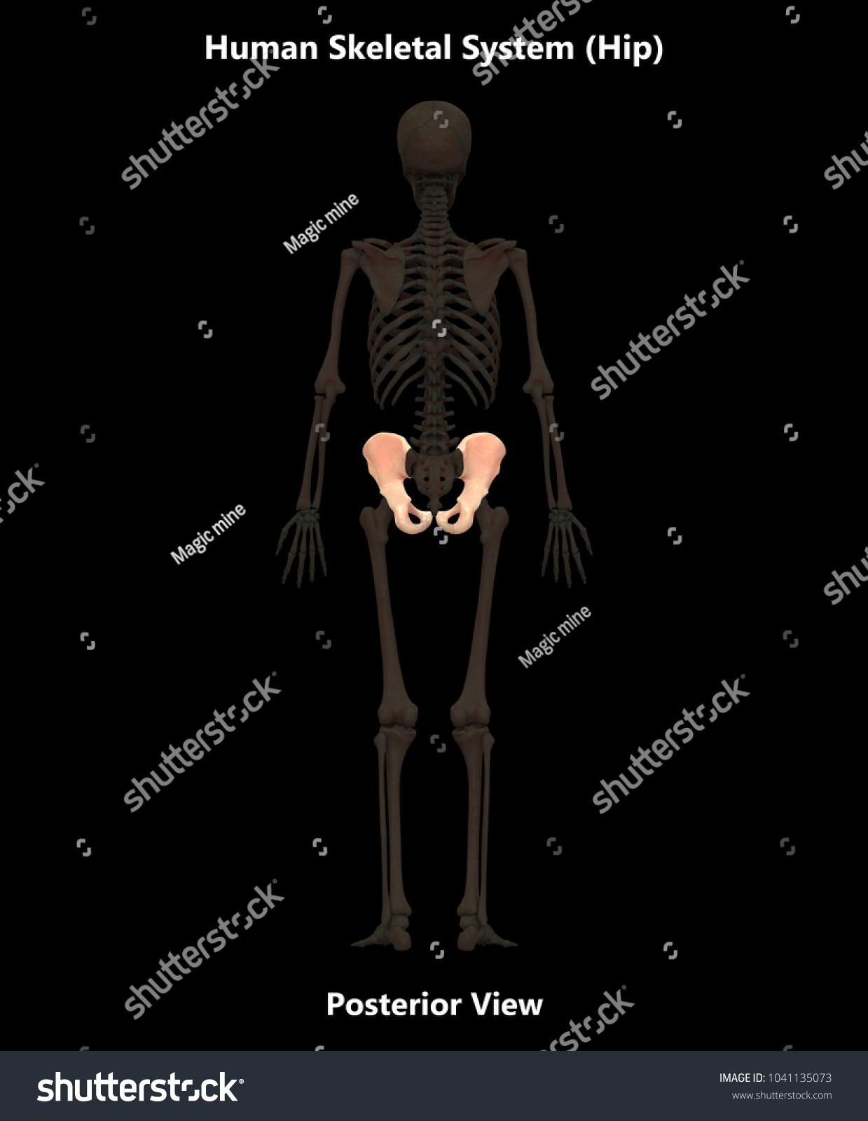Royalty Free Stock Illustration Of Human Skeleton System Bones Hip