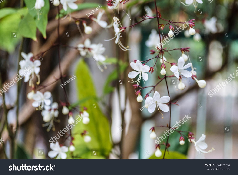Selective Focus Beautiful White Flowers Vines Stock Photo Edit Now