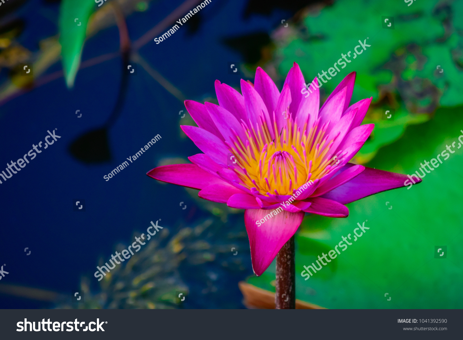Beautiful Red Pink Lotus Flower Water Stock Photo Edit Now