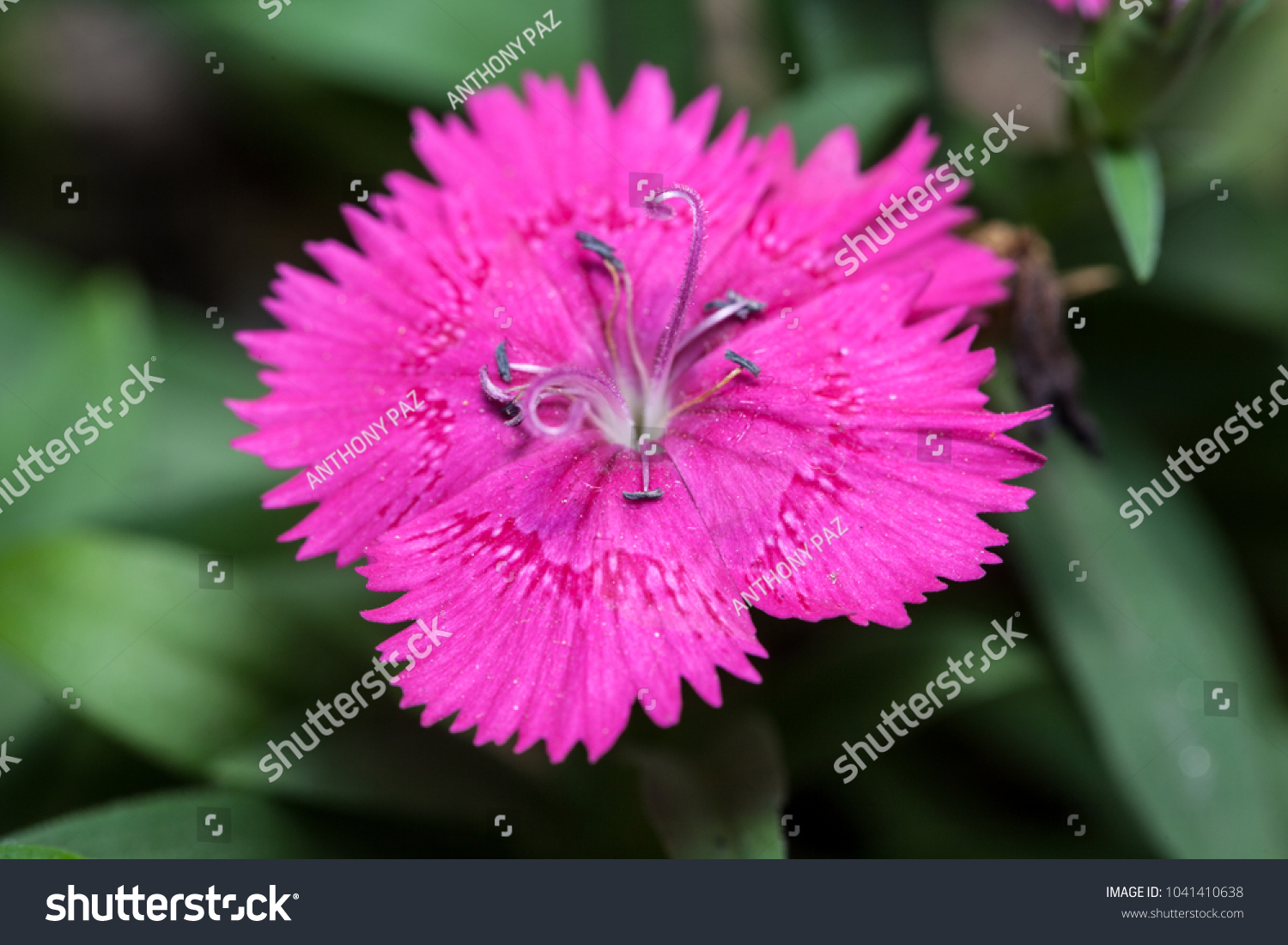 Cravina Dianthus Chinensis Flowers China Pink Stock Photo Edit Now