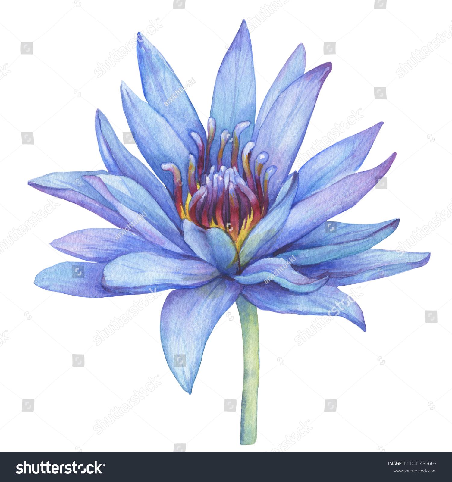 Flowers Blue Egyptian Lotus Nymphaea Caerulea Stock Illustration