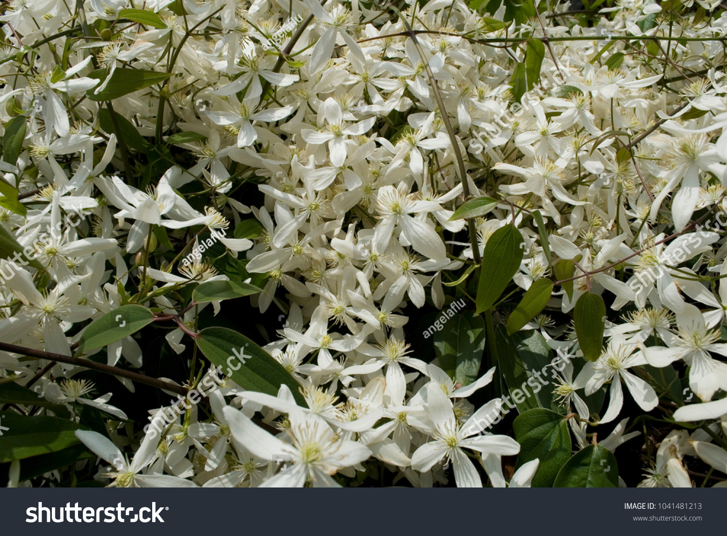 Frame Clematis Armandii Climbing Plant Long Stock Photo Edit Now