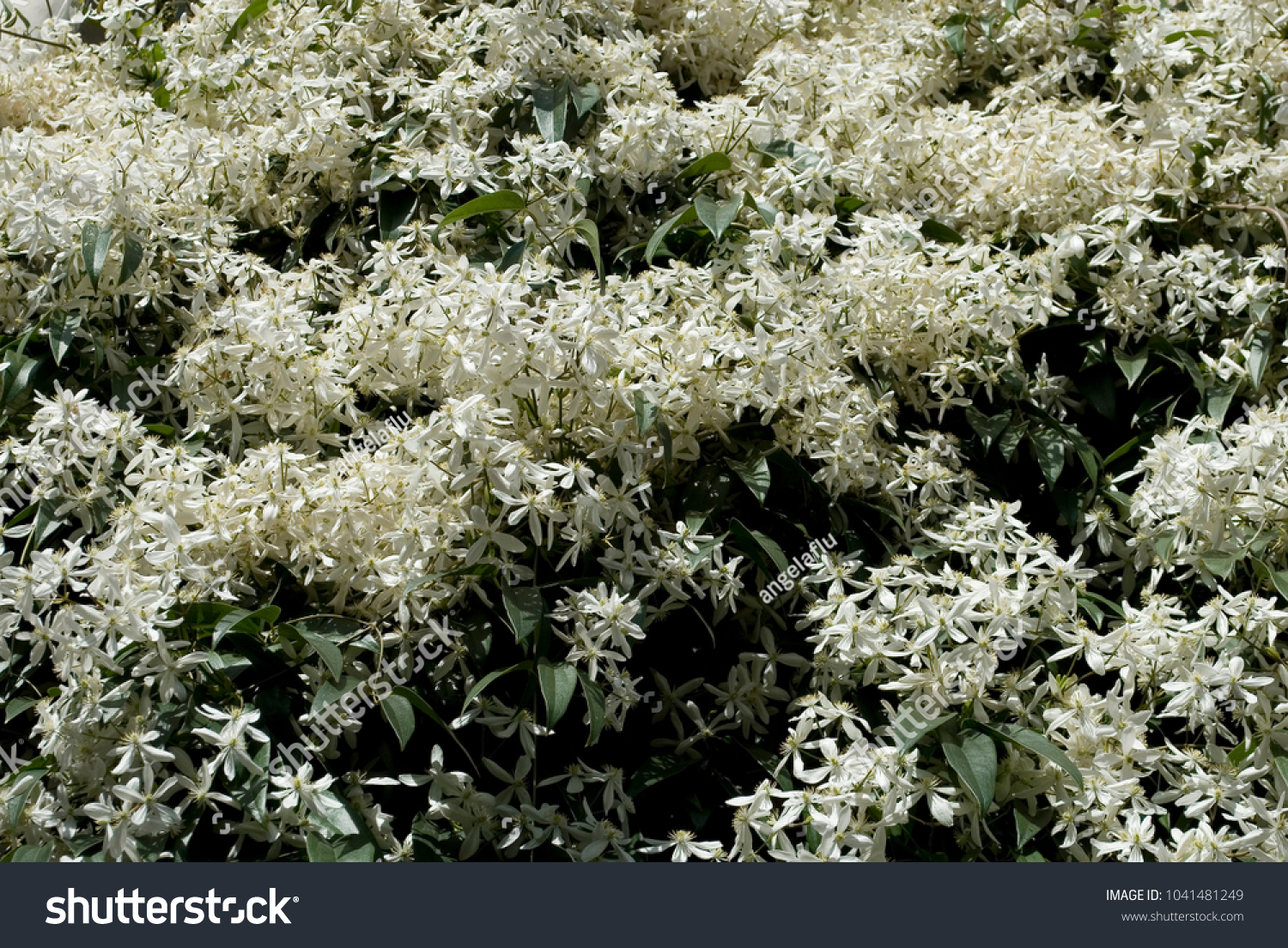 Frame Clematis Armandii Climbing Plant Long Stock Photo Image