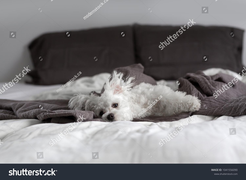 White Maltese Puppy Sleeping Resting On Stock Photo Edit Now 1041556090