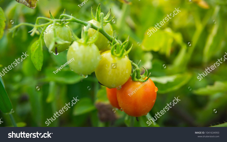 Organic Tomato Planting Garden Fruit Tomatoes Stock Photo (Edit Now