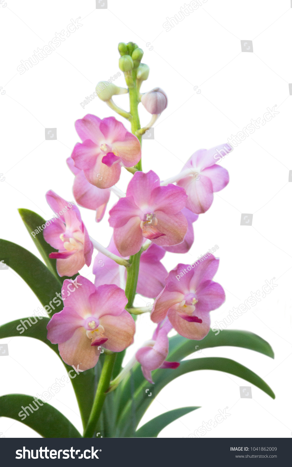 A Beautiful Purple And Pink Orchids Flower On A Branch Hanging In