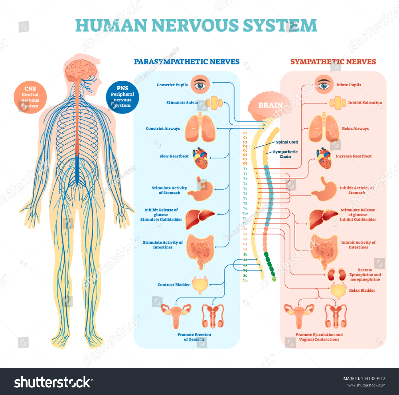 Human Nervous System Medical Vector Illustration Stock Vector (2018 ...