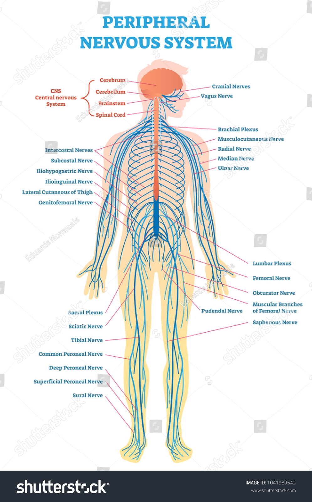 Peripheral Nervous System Medical Vector Illustration Stock Vector
