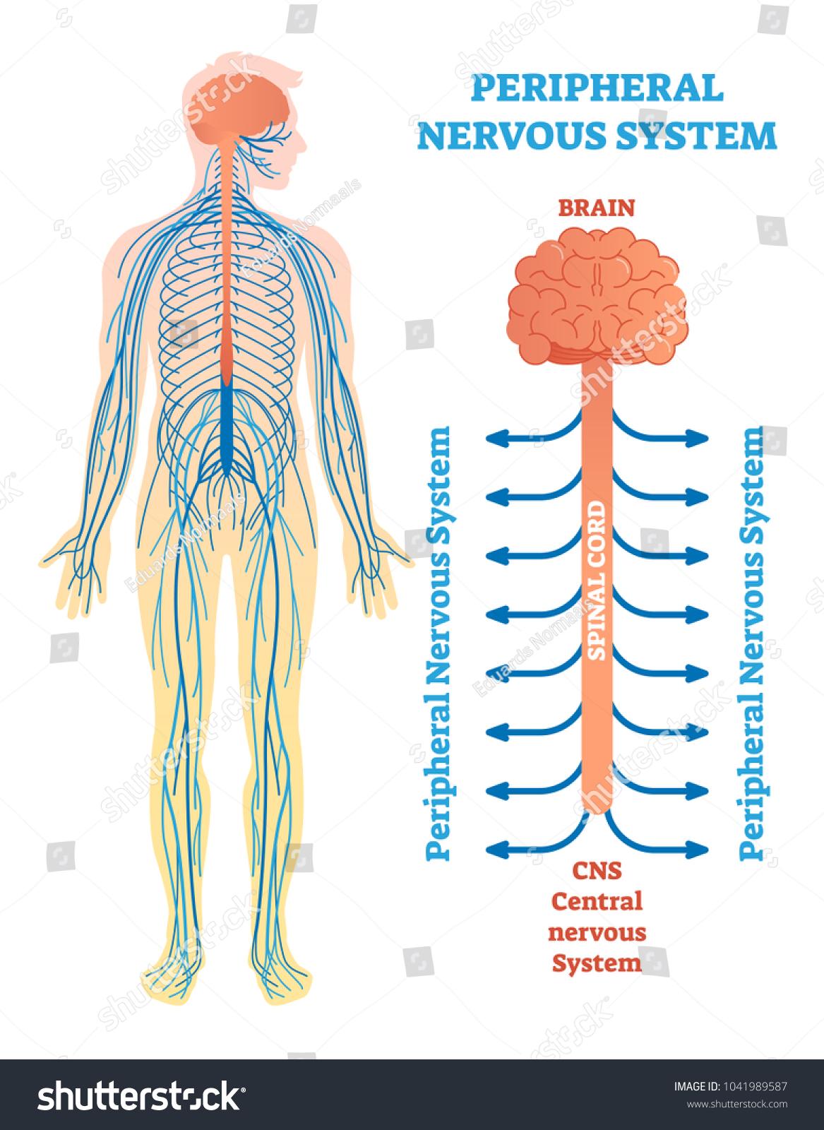 Peripheral Nervous System Medical Vector Illustration Vector de ...