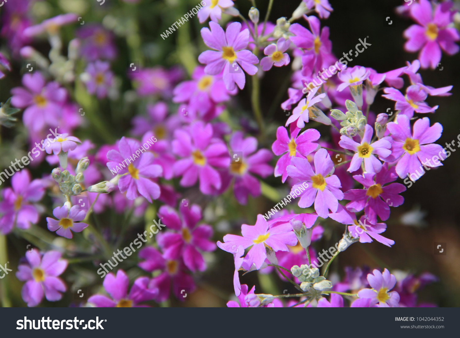 Beauty nature flowers multicolored petals often stock photo edit the beauty of nature with flowers with multi colored petals is often blossomed in the izmirmasajfo