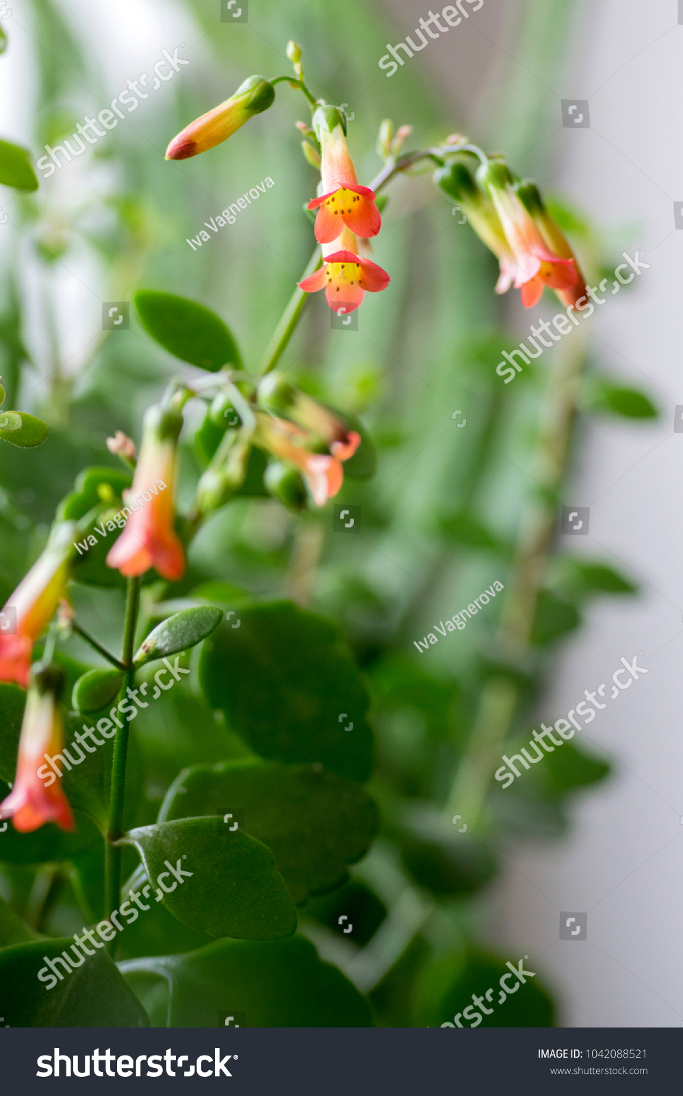 Kalanchoe Prebella Bloom Succulent Flowering Plant Stock Photo