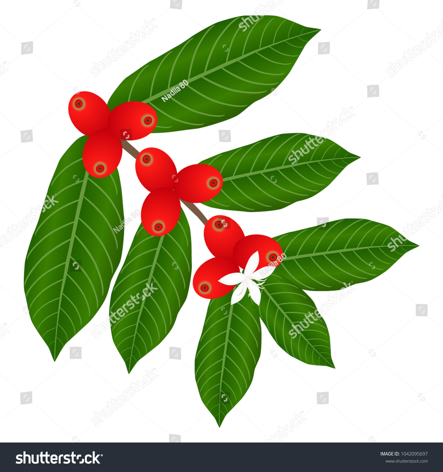 Coffee Branch White Flower Red Berries Stock Vector Royalty Free