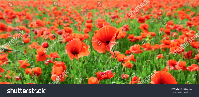 Poppy Flower Field Harvesting Summer And Spring Landscape Poppy