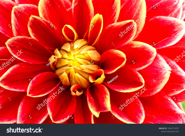 Red Orange Yellow Flame Dahlia Flower Stock Photo Edit Now