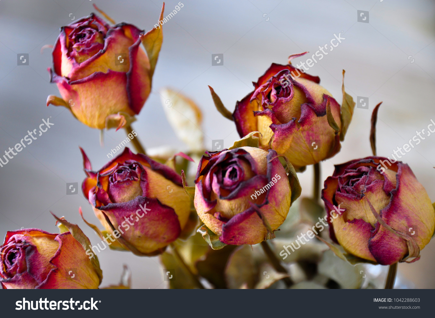 Dried Roses Still Full Colors Stock Photo (Royalty Free) 1042288603 ...