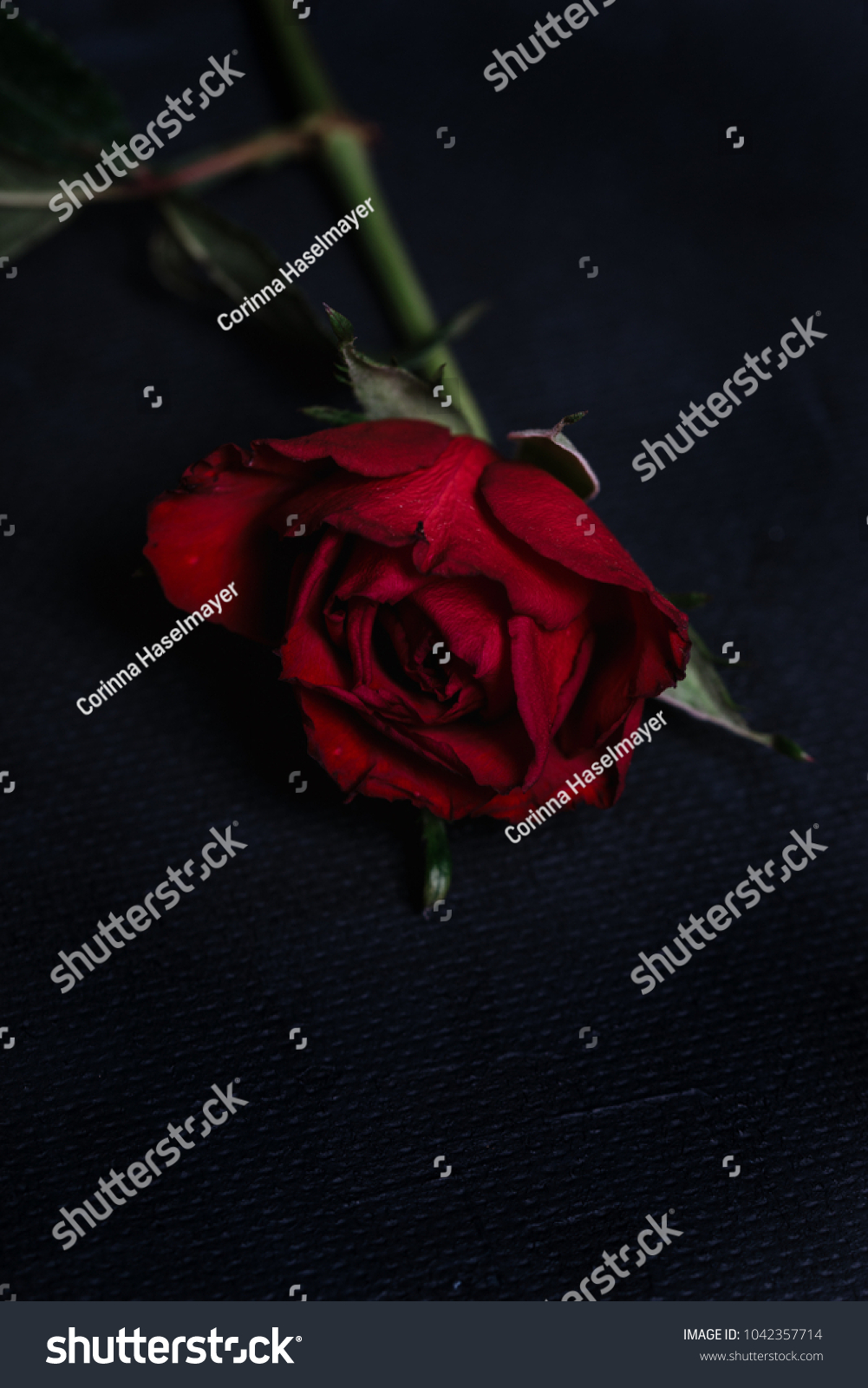 Single red rose with dark tones and
