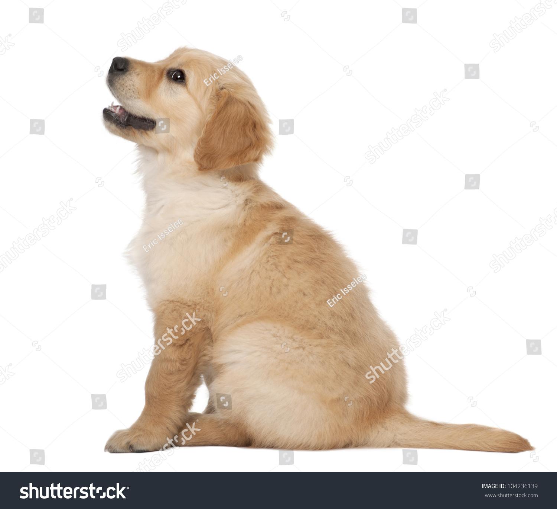 Half Golden Retriever Half Poodle Stock Photo Golden Retriever Puppy Months Old Sitting