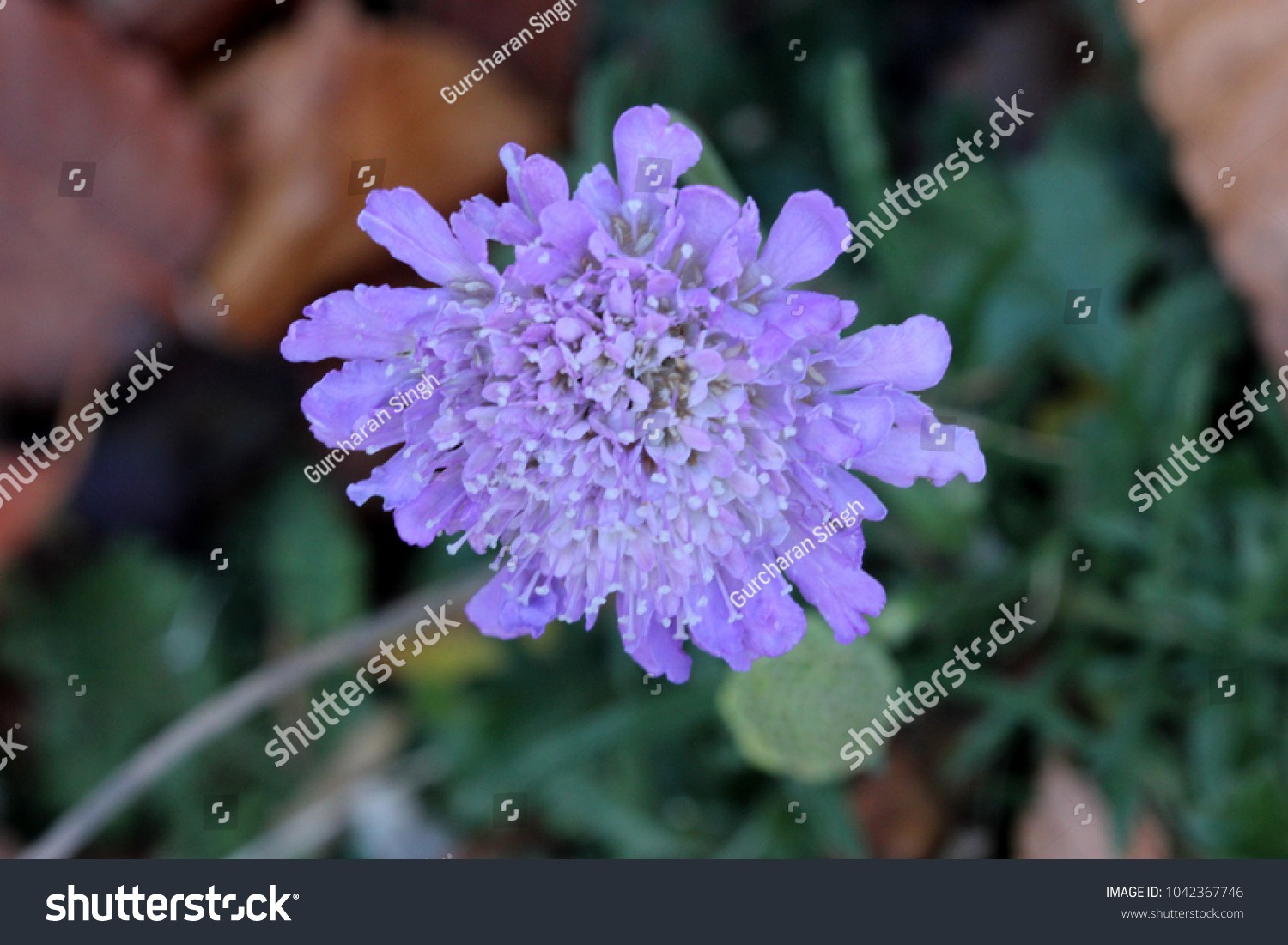 Scabiosa Columbaria Butterfly Blue Small Scabious Perennial Herb