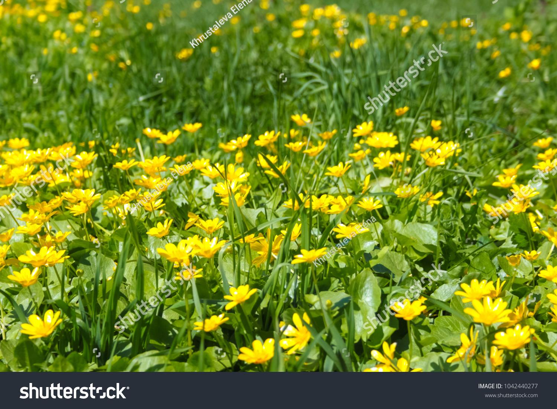 Meadow Buttercup Flowers Poisonous Stock Photo Edit Now 1042440277