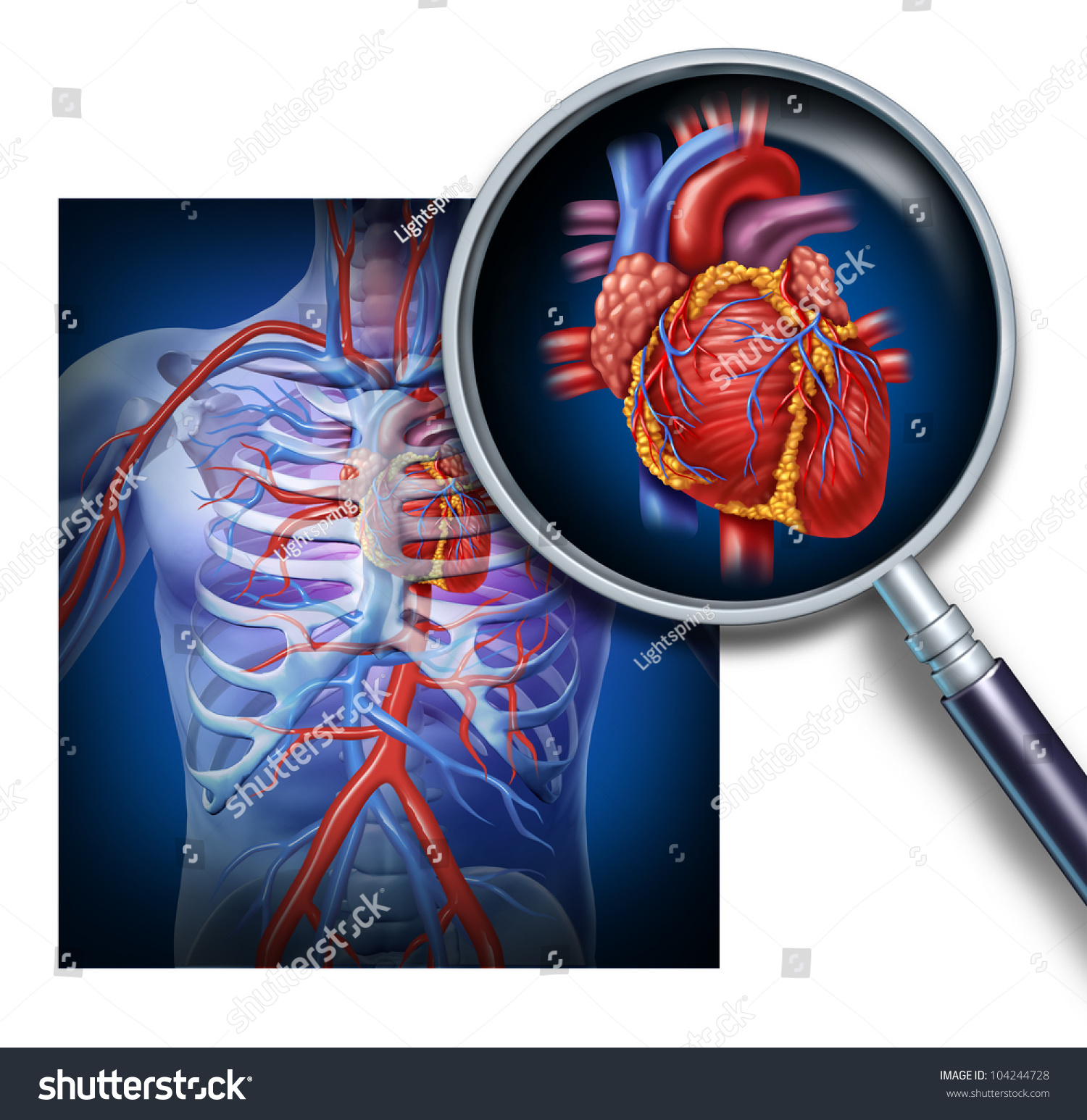 Anatomy Human Heart Focus Magnification Circulation Stock