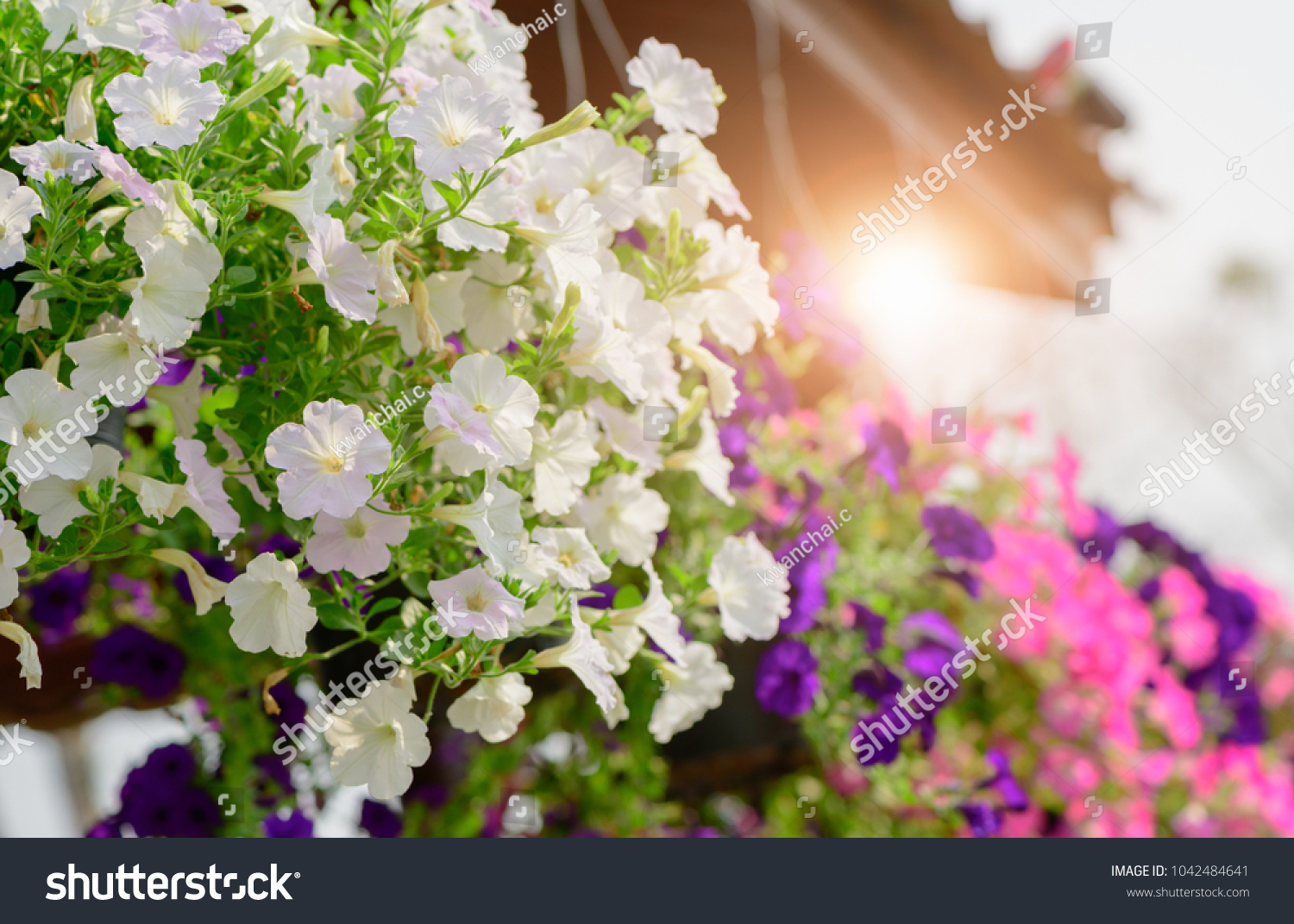 Hanging White Petunia Flower Pot Containing Stock Photo Edit Now