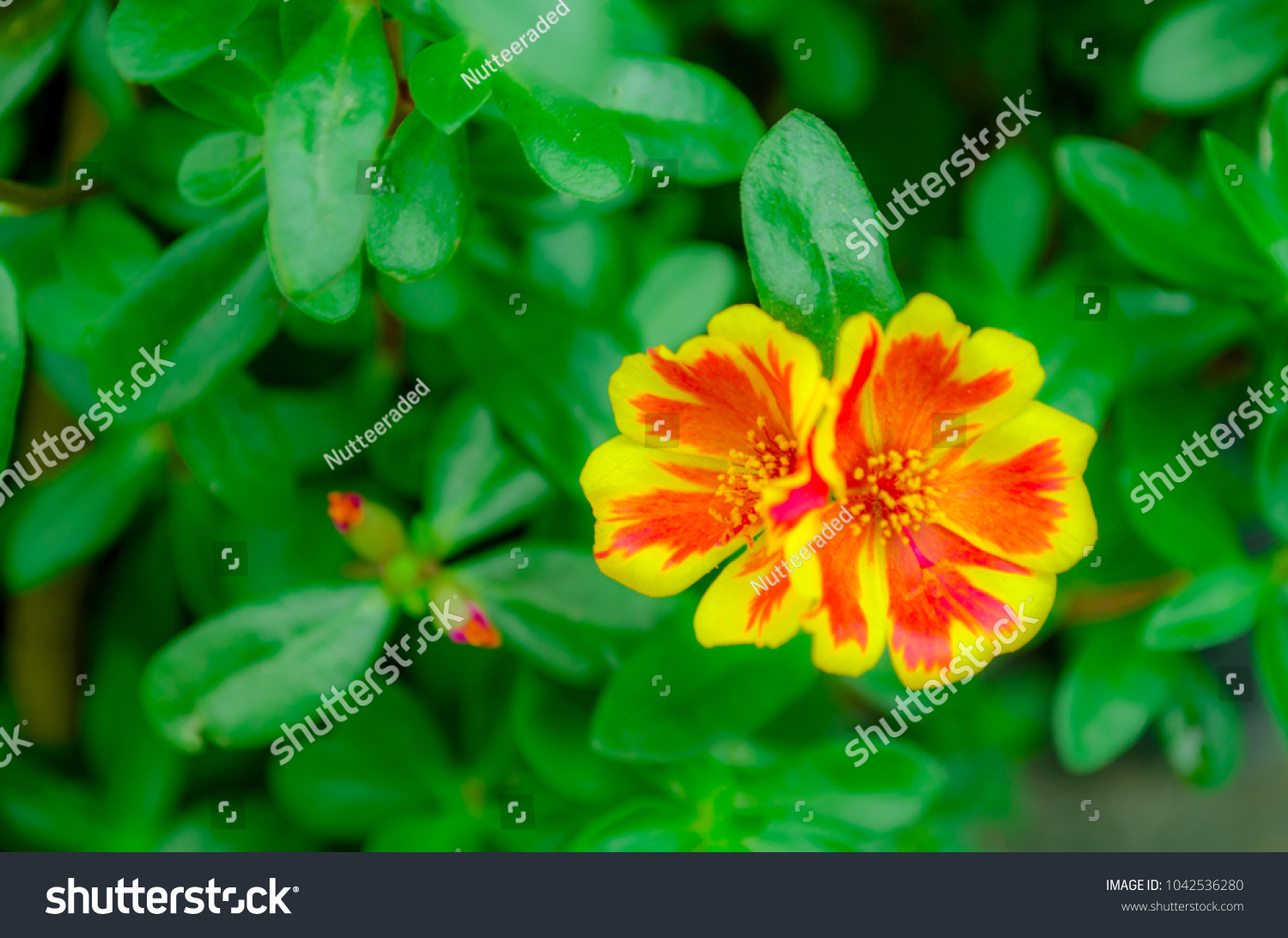 Orange Yellow Flower Name Common Onpurslane Verdolaga Pigweed