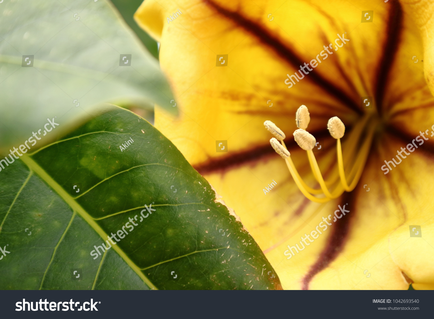 Closeup Yellow Cup Gold Vine Solandra Stock Photo Edit Now