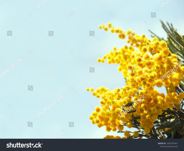 Acacia Dealbata Silver Wattle Mimosa Closeup Stock Photo Edit Now