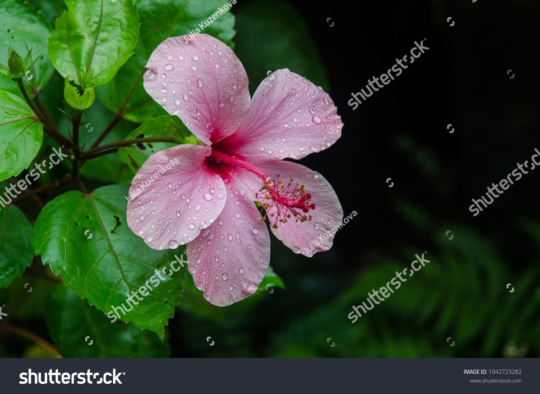 Hibiscus Flower Garden Water Drops Detail Stock Photo Edit Now