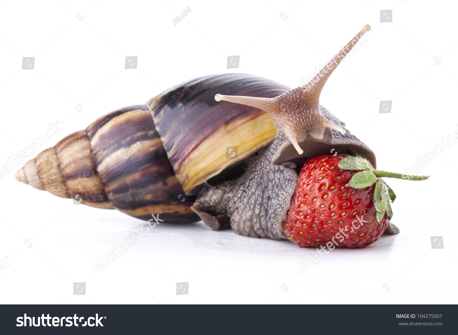 Giant african land snail eating - photo#1