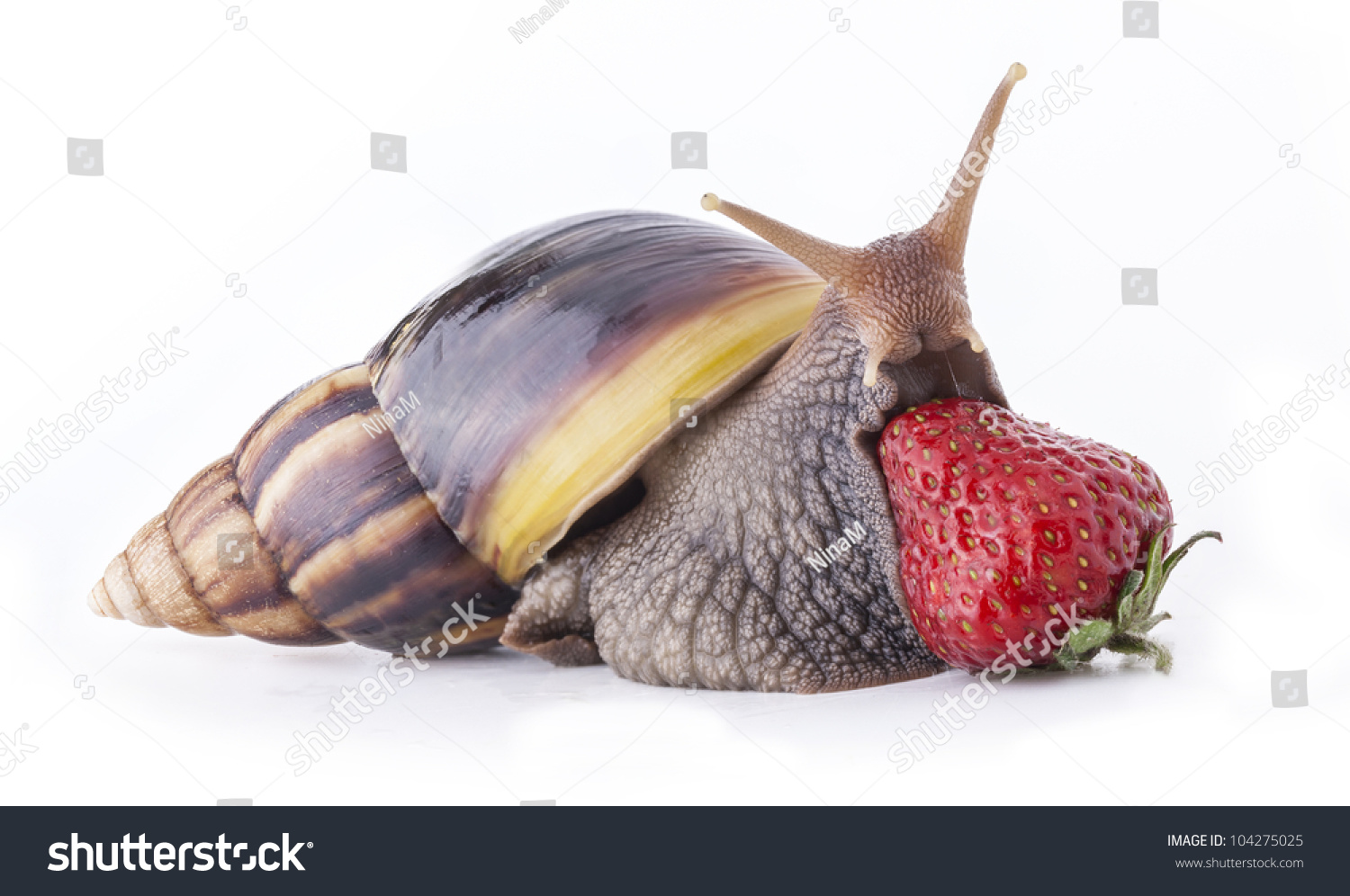 Giant african land snail eating - photo#30