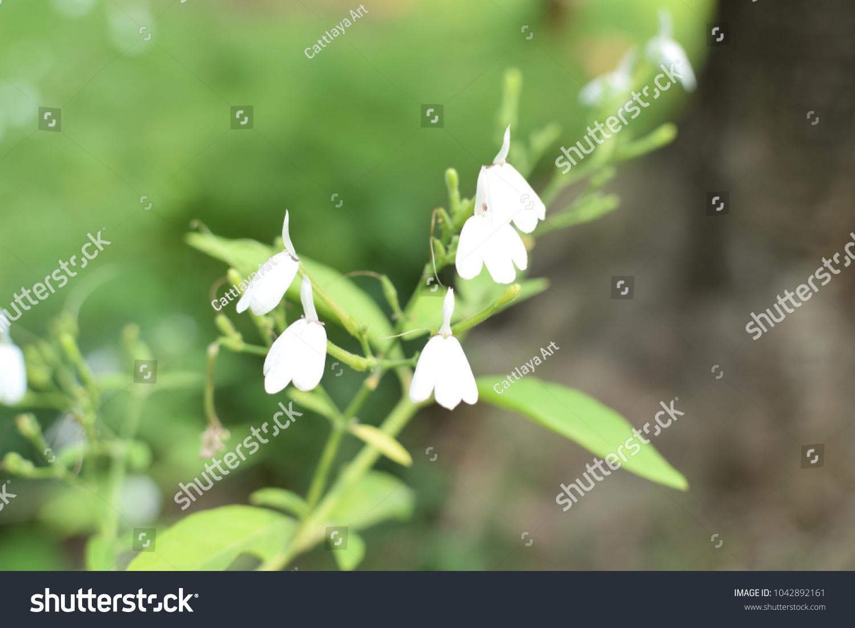 White Crane Flower Rhinacanthus Nasutus Kurz Stock Photo Royalty