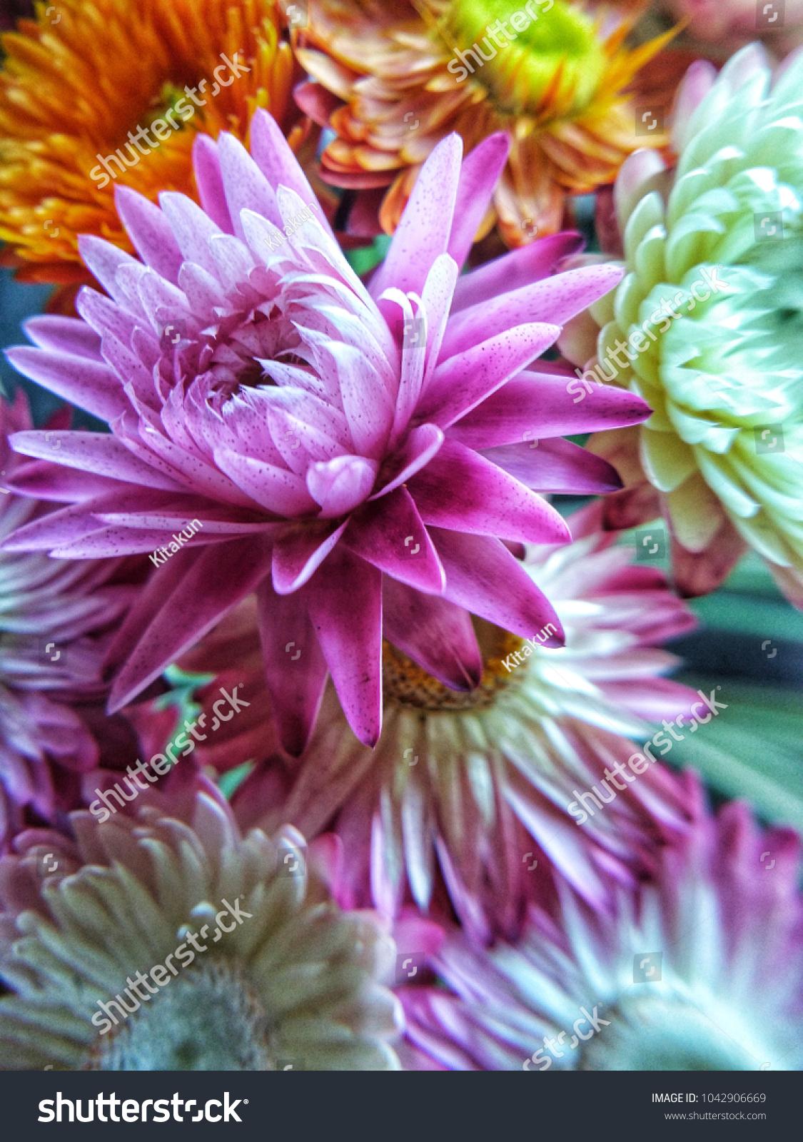 Straw Flower Everlasting Paper Daisy Flower Stock Photo Edit Now