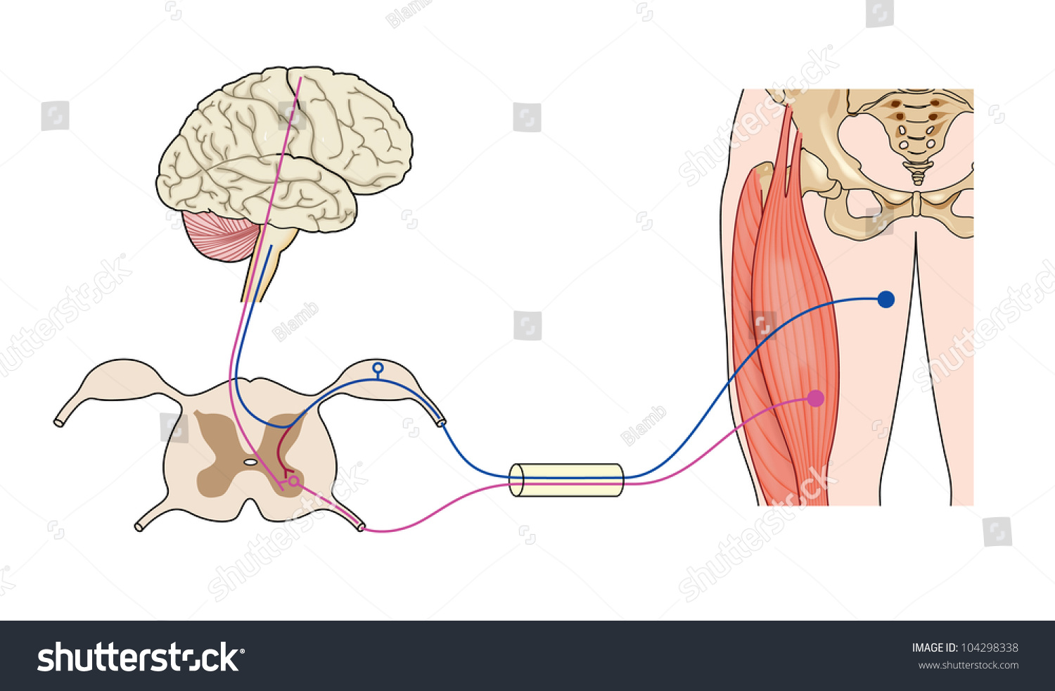 Control Muscle Showing Nerve Paths Brain Stock Illustration