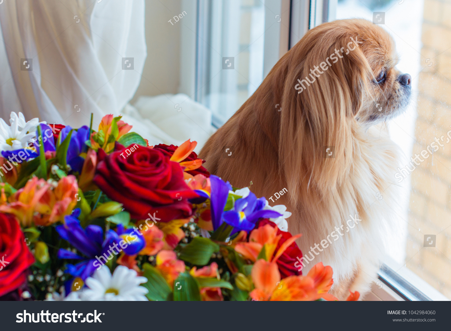Little Red Senior Pekingese Dog Bouquet Stock Photo (Royalty Free ...